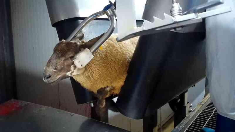 Filmagem secreta revela violência e sofrimento extremos em matadouro de ovelhas
