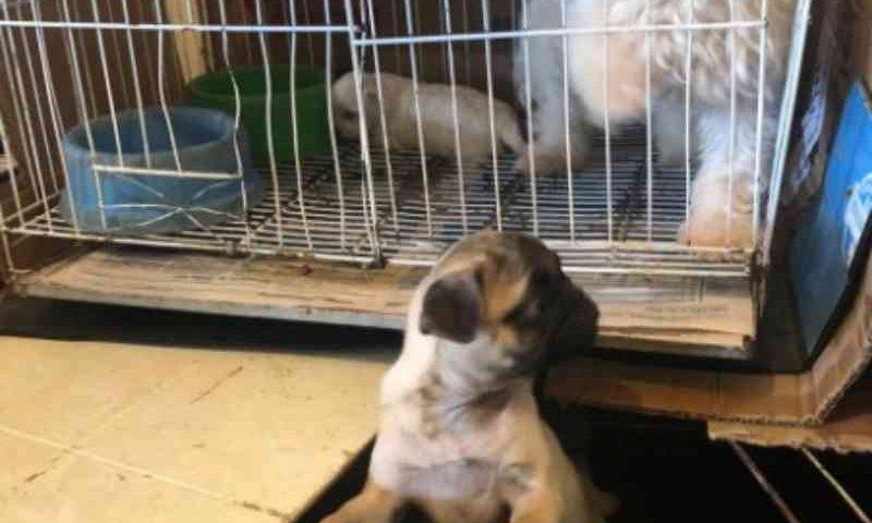Polícia resgata cães de maus-tratos cometidos em canil clandestino, em Ribeirão das Neves, MG