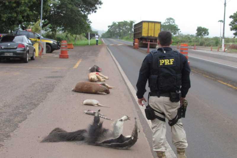 Animais empalhados são usados em 'blitz educativa' para alertar sobre atropelamento em rodovias de Mato Grosso — Foto: Polícia Rodoviária Federal de Mato Grosso/Assessoria