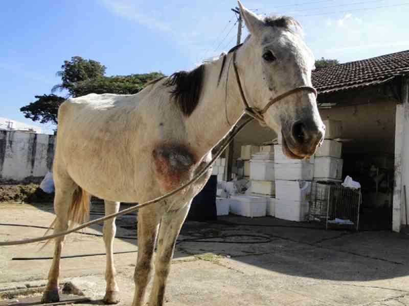 MP é acionado para cobrar atuação do Governo do Pará no combate aos maus-tratos a animais que 'puxam' carroça