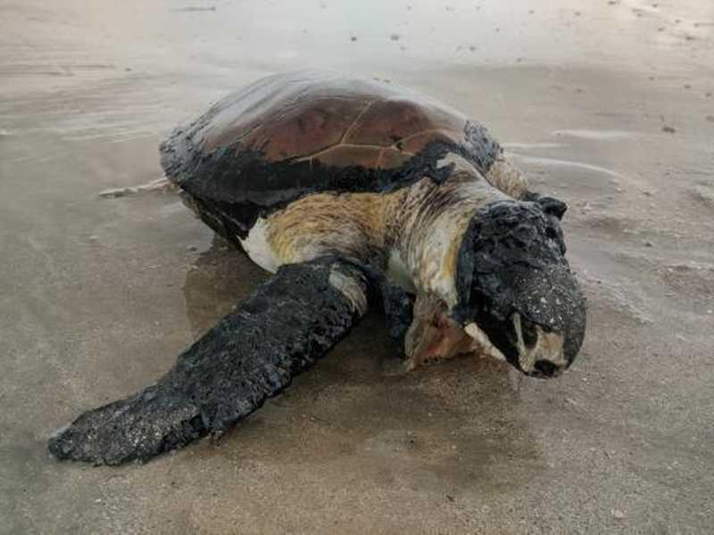 Mais de 180 animais marinhos são encontrados mortos em 2019, no Litoral da Paraíba, de acordo com ONG Guajiru — Foto: Arquivo/ONG Guajiru