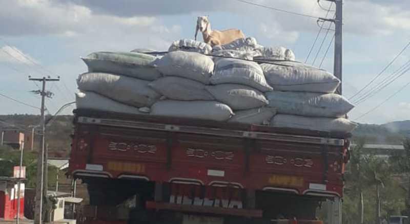 Caprinos estavam em cima da carga do caminhão (Antônio Virgínio Neto/NE10 Interior)