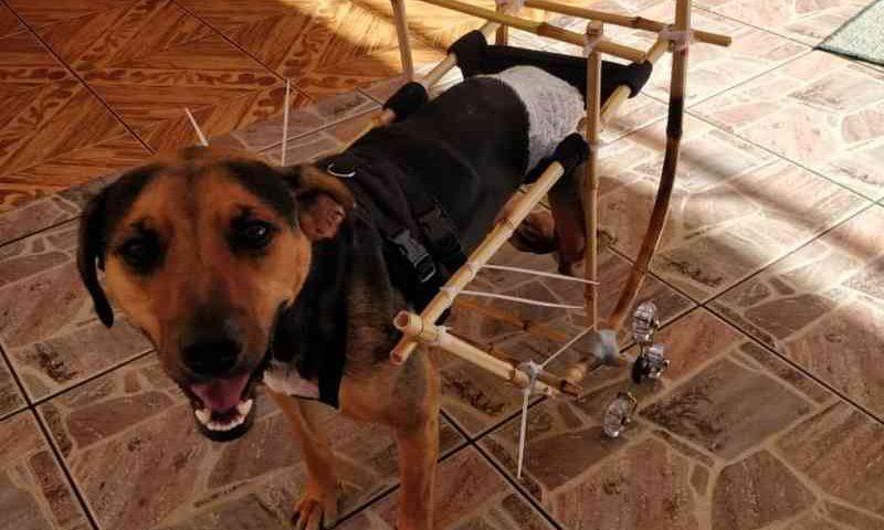 Jovem cria cadeira de rodas para cachorro feita de bambu: 'Quero melhor qualidade de vida para esses cães'