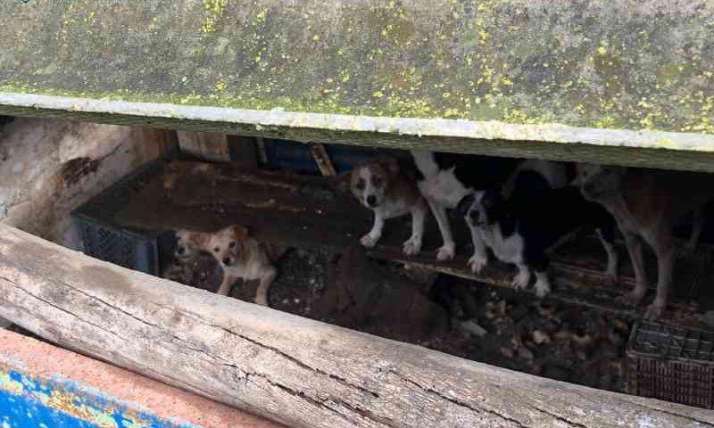 43 cães sujeitos a maus-tratos resgatados de canil ilegal em Bombarral, Portugal