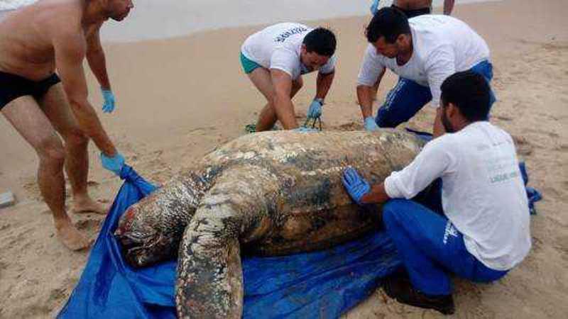 Tartaruga-de-couro foi encontrada morta no bairro Marina, em Búzios. Foto: Divulgação