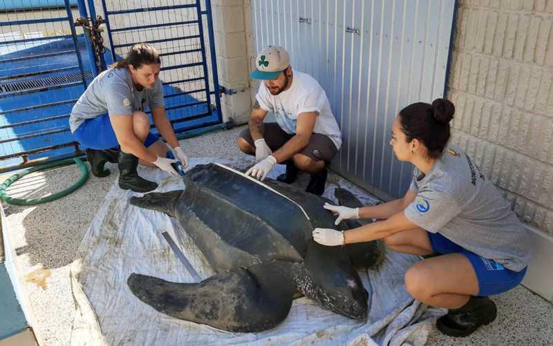 Tartaruga resgatada na praia do Cassino não sobreviveu no centro de reabilitação — Foto: Divulgação/Cram-Furg