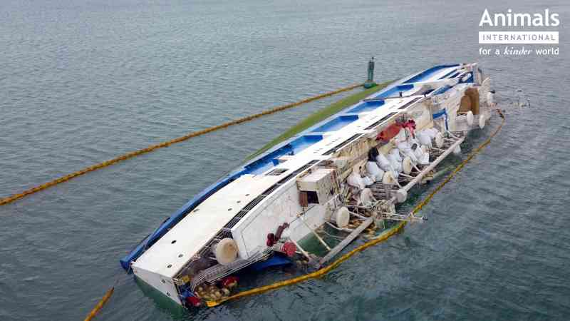 Dias após navio virar, 60 ovelhas foram resgatadas do mar na Romênia