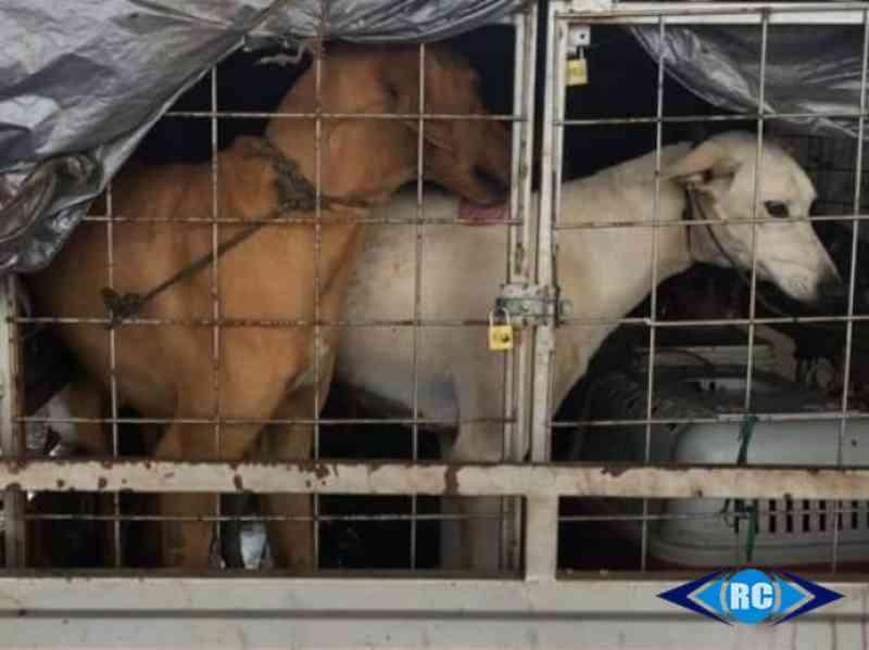 PM flagra transporte de animais em condições precárias em Capinzal, SC