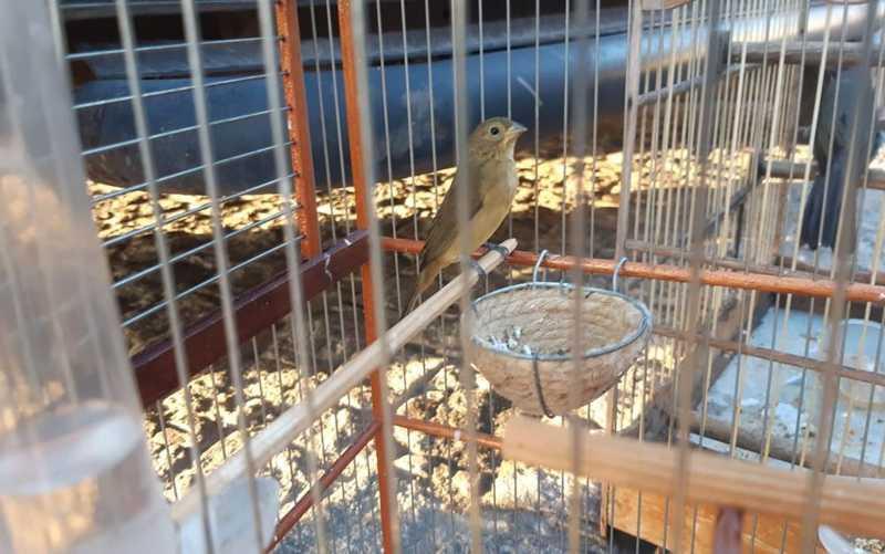 Pássaro silvestre transportado ilegalmente em Nossa Senhora do Socorro — Foto: PRF/Divulgação