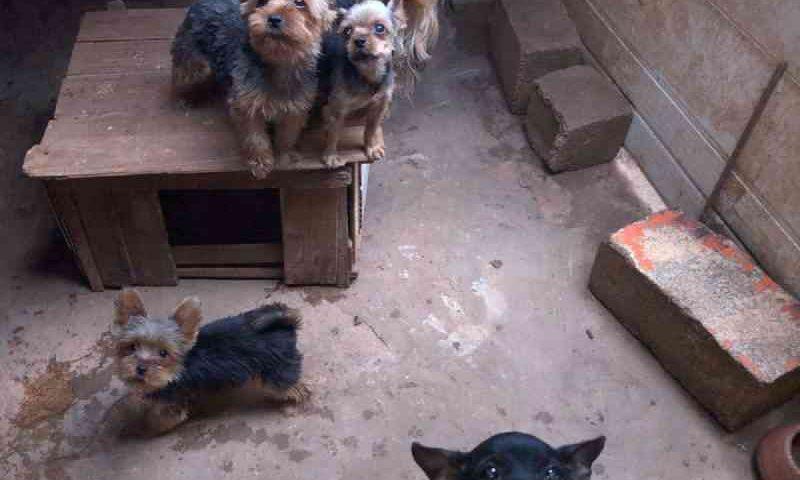 Polícia Civil encontra mais de 50 animais em situação de maus-tratos em canil clandestino de Araçariguama, SP