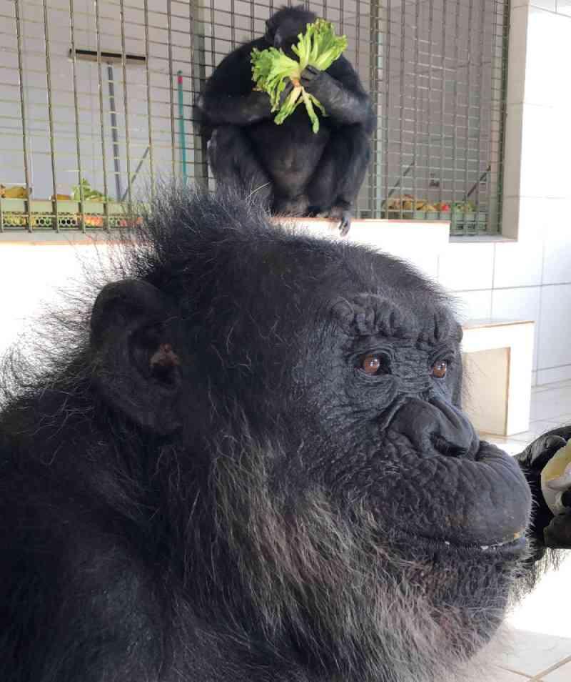 Histórico clínico mostra que chimpanzé Black comeu fezes em possível solidão no zoo e já foi medicado por estresse