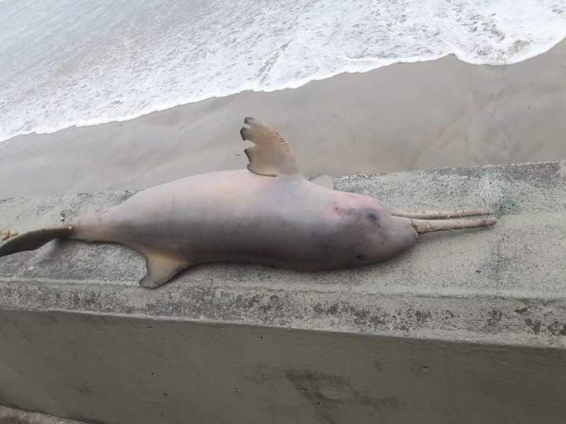 Golfinho foi encontrado morto com rede de pesca presa ao rostro (estrutura que se assemelha a um bico) em Mongaguá, SP — Foto: Reprodução/Mongaguá na Tela