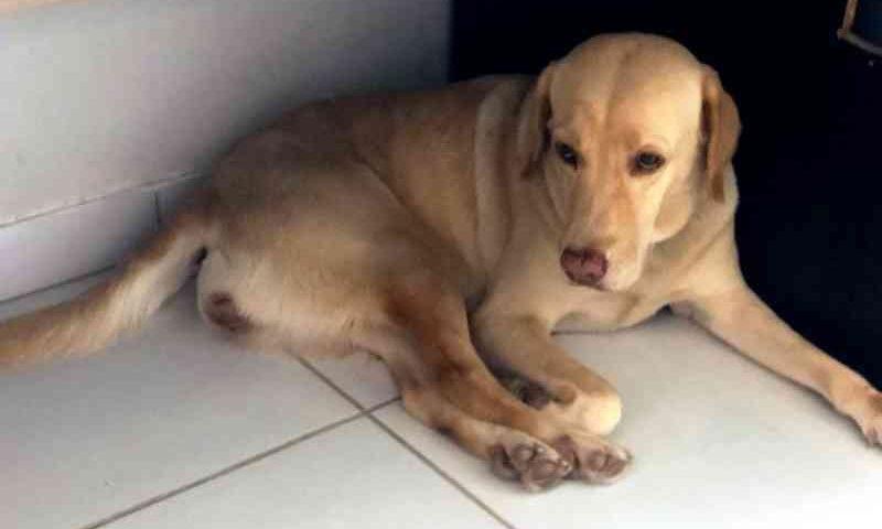 Leishmaniose: exame de laboratório particular contesta CCZ e salva cadela de 'sentença de morte' em Araguaína, TO