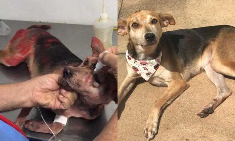 Cadelinha Princesa no dia da agressão e depois, quando recebeu alta (Foto: Redes sociais)