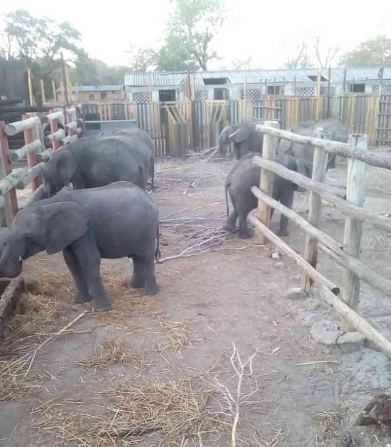 Zimbábue exporta mais de 30 filhotes de elefantes selvagens para zoológicos chineses