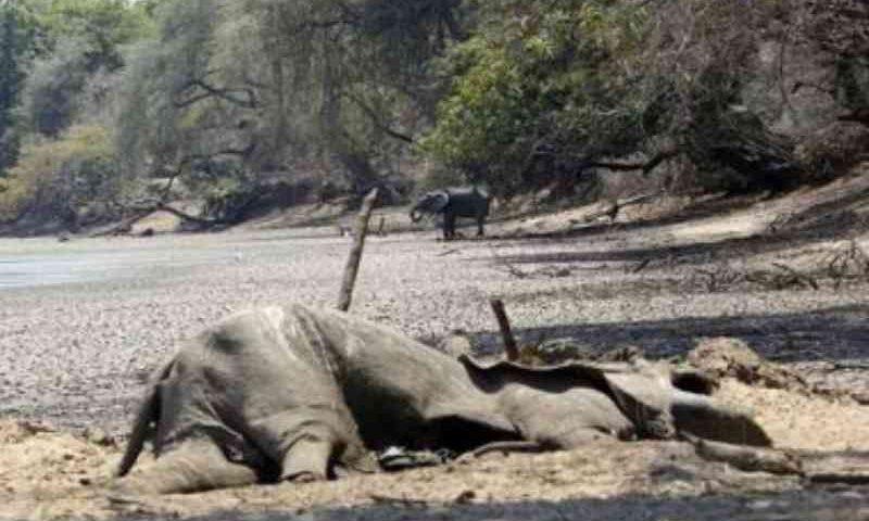 Zimbabué: Seca matou 200 elefantes e ameaça devastar vida selvagem do país