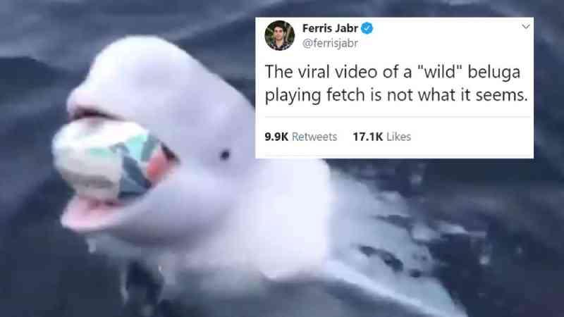 Há algo que você precisa saber a respeito do vídeo viral de uma baleia beluga brincando de pegar objetos
