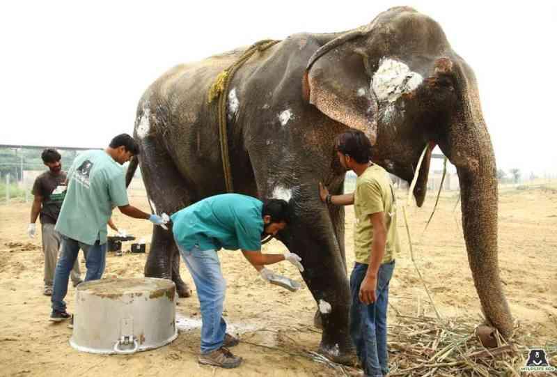 Elefanta de 65 anos recebe atendimento veterinário urgente depois de ser maltratada e trabalhar em excesso