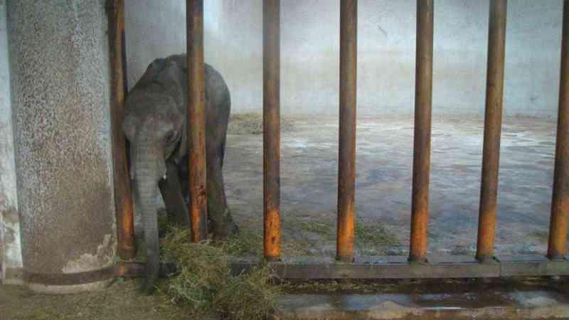 Elefantes bebés arrancados às mães e vendidos para zoos na China