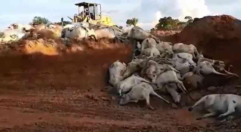 No Acre, 70 bois morrem afogados em açude ao se assustarem com tiros de caçadores