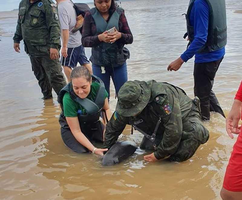 Animal foi trazido para Macapá — Foto: Batalhão Ambiental/Divulgação