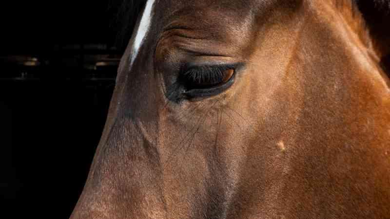 Traição: RSPCA Austrália admite enviar cavalos para serem abatidos para alimentar animais de estimação