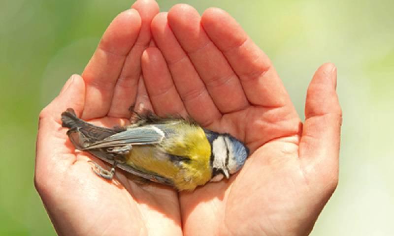 Pesquisa encontra 36 tipos diferentes de pesticidas em ninhos com filhotes de aves mortas