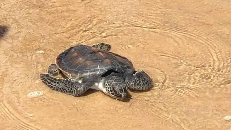 Tartaruga-verde, espécie na lista de animais ameaçados de extinção. Foto: Recicriança de Canoa