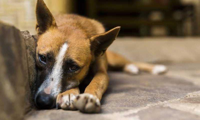 Retrocesso: Prefeitura de Quixelô (CE) sanciona lei que autoriza o sacrifício de animais com calazar