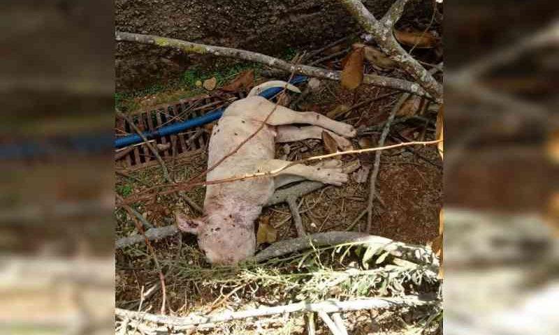 Vídeo. abandonados, pit bulls atacam e matam filhote no DF