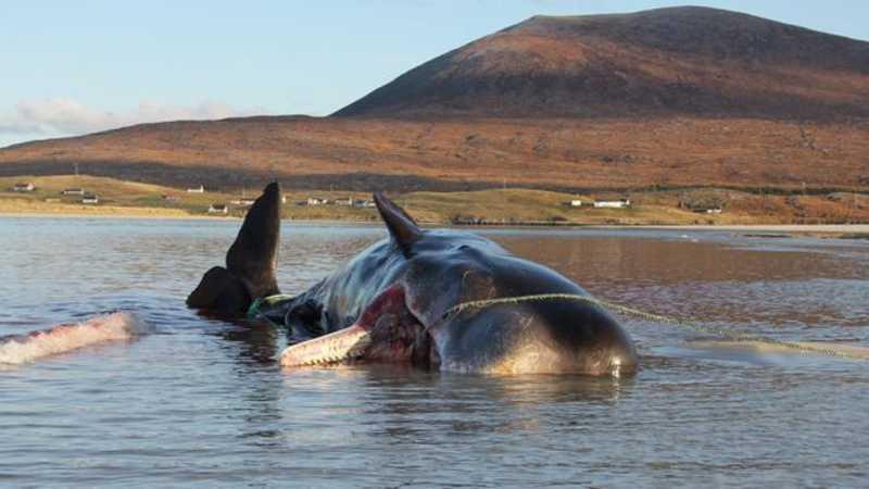 Redes de pesca e copos de plástico estavam entre os resíduos achados no estômago da baleia. DAN PARRY