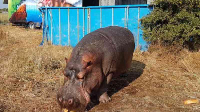 Circo é acusado de crueldade contra hipopótamos