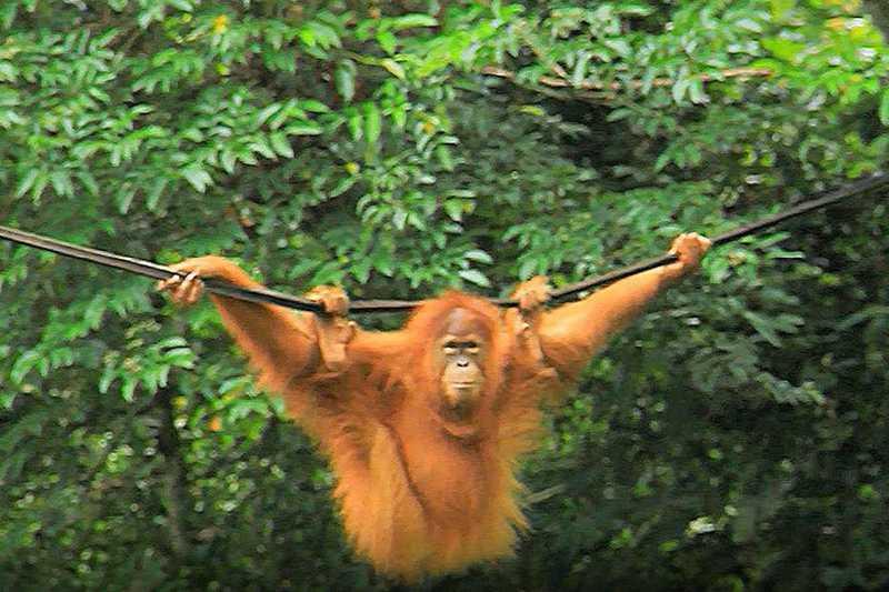 Filhote de orangotango traficado em mala voltará à natureza na Indonésia
