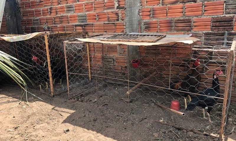 Homem é preso por organizar rinha de galos em Porto Franco — Foto: Divulgação/ Polícia Civil