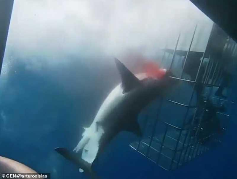 Tubarão morre ao tentar entrar em gaiola com mergulhadores