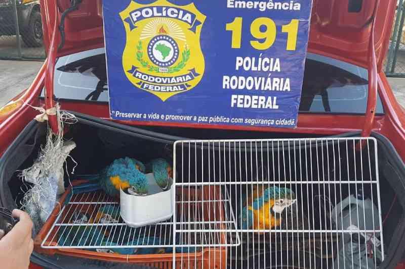 PRF apreende 20 araras-canindé presas em veículo em João Monlevade, MG