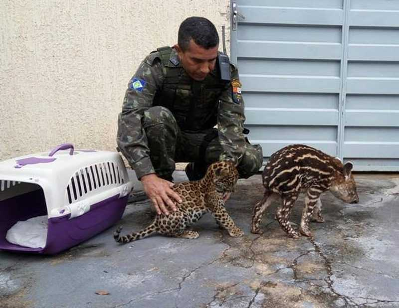 Animais em condições de voltar à natureza são libertados depois de tratados — Foto: Batalhão Ambiental - PMMT
