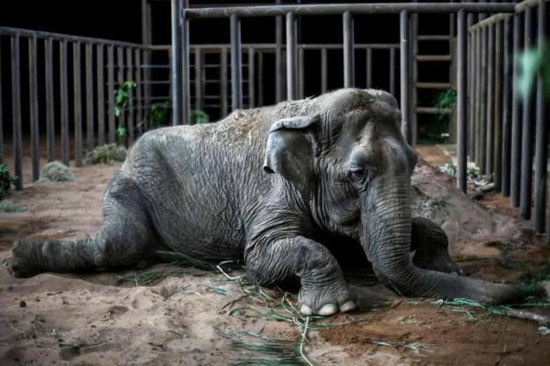 Vítima de maus-tratos em circo, elefanta Ramba morre em santuário no Brasil