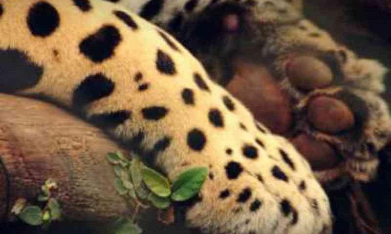 Onça pintada é morta com um tiro na cabeça em reserva no Pantanal