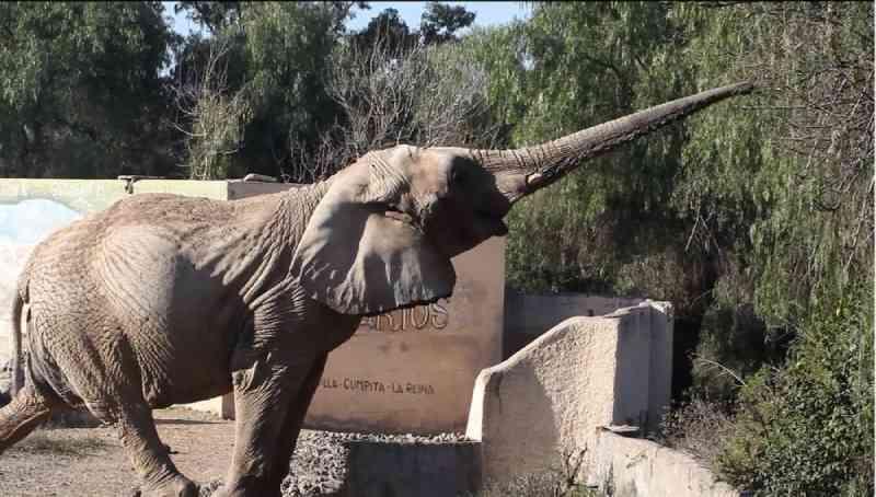 Santuário em MT lança campanha para arrecadar R$ 95 mil e construir espaço para abrigar elefanta que está na Argentina