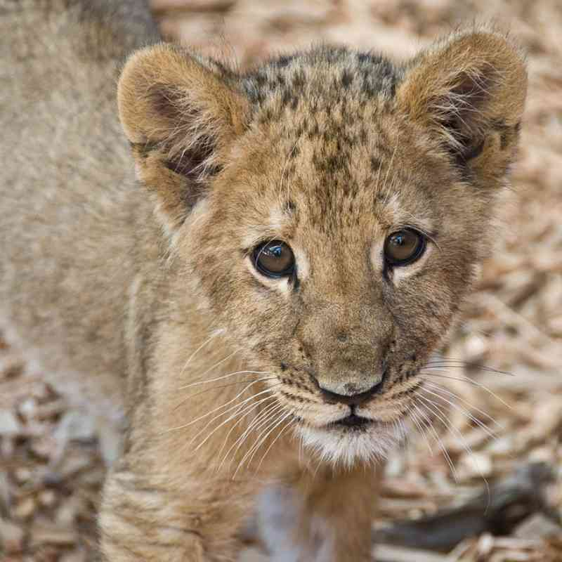 Filhote de leão africano encontrado em uma caixa de papelão dentro de um carro abandonado no México