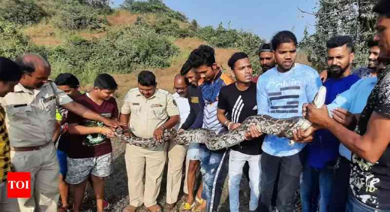 Nova Bombaim: cobra píton-indiana gigante é resgatada de pedreira