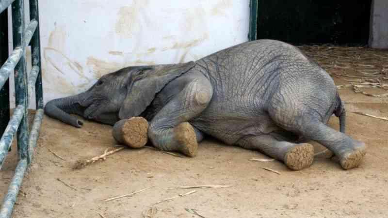 Grupos de defesa dos animais vão ao tribunal contra importação de elefantes para o Paquistão