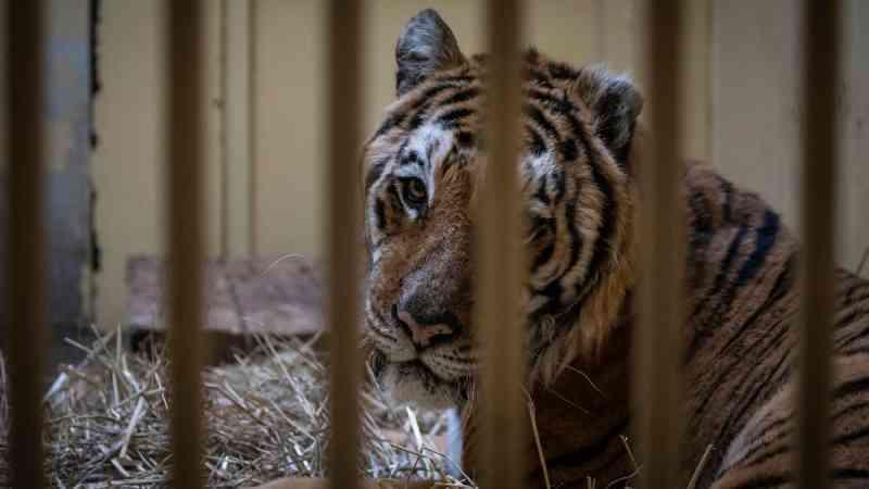 Tigres resgatados deixam a Polônia rumo à Espanha