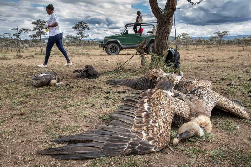 Pelo menos 10 abutres ingeriram veneno ao se alimentarem do corpo de uma hiena morta com pesticidas. Trabalhando com guardas florestais, Valerie Nasoita, do Peregrine Fund, passou seis horas lutando para salvar os abutres sobreviventes, que estavam fracos. FOTO DE CHARLIE HAMILTON JAMES, NATIONAL GEOGRAPHIC