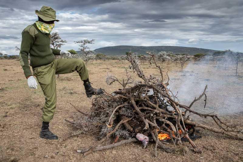 Um guarda florestal faz uma fogueira para incinerar um abutre-torgo morto. O objetivo é destruir seu cadáver e, assim, impedir que mais abutres se aproximem e se alimentem de sua carne envenenada. Embora a incineração seja a forma mais comum de descarte, Thomsett, da Kenya Bird of Prey Trust, diz que o fogo nem sempre decompõe as toxinas; ele prefere enterrar os animais envenenados. FOTO DE CHARLIE HAMILTON JAMES, NATIONAL GEOGRAPHIC
