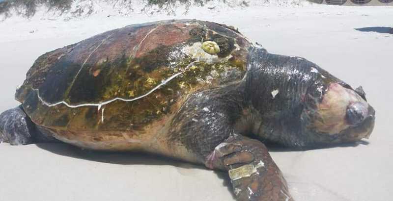 Tartaruga é encontrada morta na Praia das Dunas, em Cabo Frio, no RJ