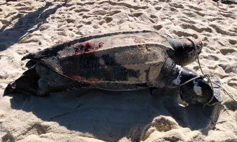 Cinco tartarugas-de-couro foram encontradas mortas desde o início de dezembro em praias de Maricá — Foto: Divulgação/Internauta