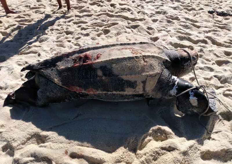 Cinco tartarugas são encontradas mortas no litoral de Maricá, RJ, em menos de 20 dias