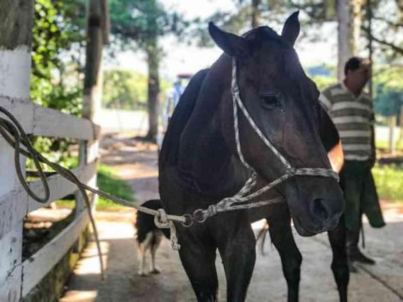 Porto Alegre: EPTC recolhe 242 cavalos e registra 59 adoções em 2019